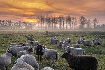 eine Schafherde mit untergehender Sonne von Miranda Heemskerk