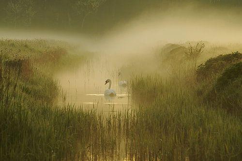 zwanen in de mist van