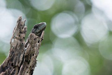 Ruhender juveniler Utila-Leguan vor einem ruhigen Hintergrund von Thijs van den Burg