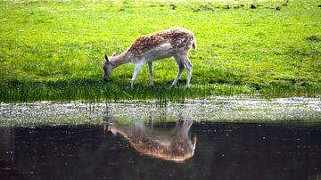 Kleine Rehe in der Nähe des Wassers von Agnes Koning