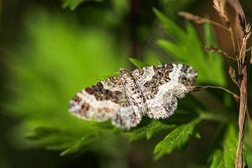 Nahaufnahme eines Schmetterlings (Graubinden-Labkrautspanner) von Reiner Conrad
