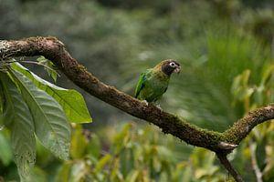 Perroquet à collier arc-en-ciel dans la forêt tropicale du Costa Rica sur Mirjam Welleweerd