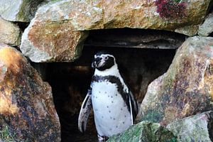 Pinguïn komt even kijken