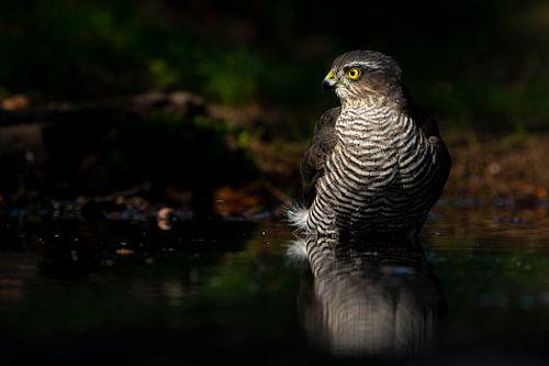 Sperber-Raubvogel von Rando Kromkamp