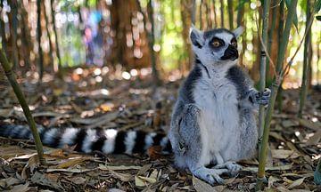 Ringelschwanz-Lemur von Eric Sweijen