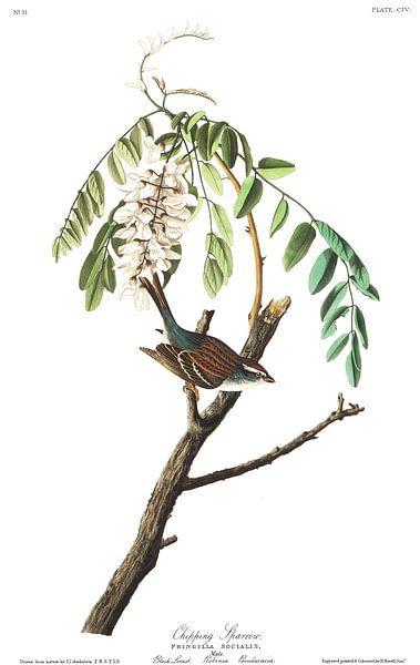 Musgors van Birds of America
