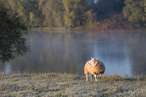 Schafe auf dem Trockenen Land