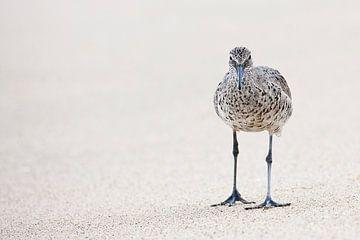 Willet (Tringa semipalmata) op strand van