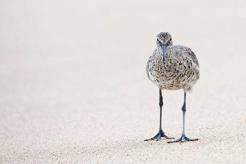 Willet (Tringa semipalmata) op strand van Beschermingswerk voor aan uw muur