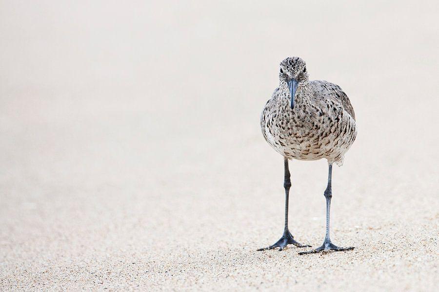 Willet (Tringa semipalmata) op strand