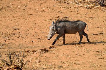 Warzenschwein von Merijn Loch