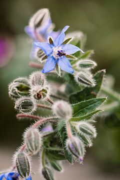 Violette Blume | Makro-Fotografie von Lindy Schenk-Smit