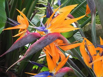 Bird of paradise flower Paradijsplant van Ingrid Van Maurik
