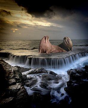 pacific-walrus-stars-website von H.m. Soetens