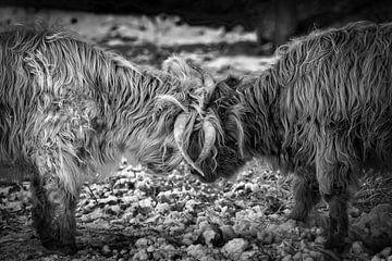 Schotse hooglanders van Dokra Fotografie