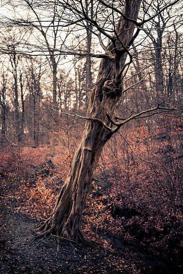 Een oude mooie boom in Arnhem