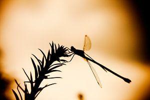 Zonsondergang libelle van