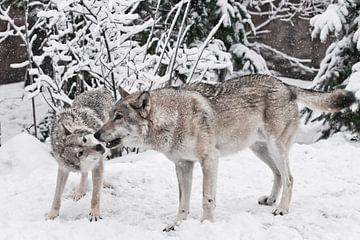 Les loups mâles et femelles jouent pendant l'accouplement dans une forêt enneigée en hiver. sur Michael Semenov