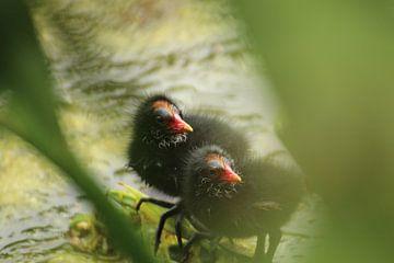 Kleine Blässhühnerküken von Chloë Luyckx