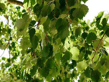 blad van de grauwe abeel van Wim vd Neut