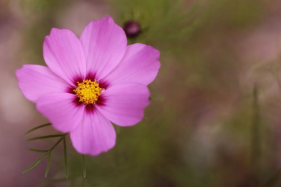 Roze cosmos van LHJB Photography