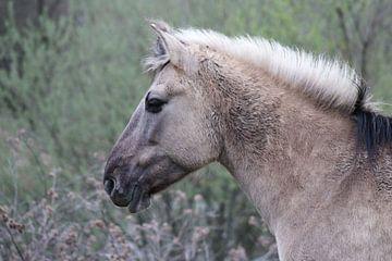 Konik Pferd von John Kerkhofs