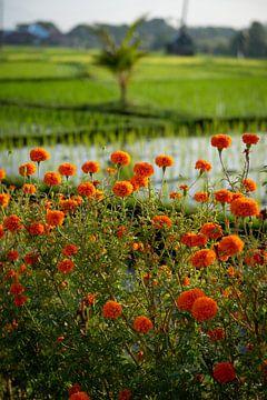 Orangefarbene Blumen vor einem grünen Reisfeld von Ellis Peeters