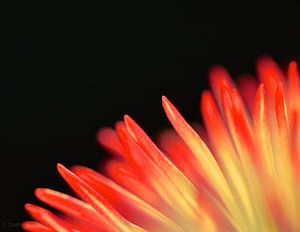 Vlammend kleurenspel van bloemblaadjes