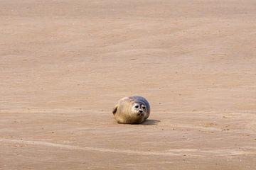 Zeehond kijkt me aan van Merijn Loch