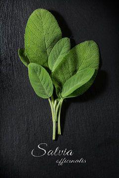 frisgroene saliebladeren op een donkere leisteenplaat, voorbeeldtekst Salvia officinalis, uitzicht v van Maren Winter