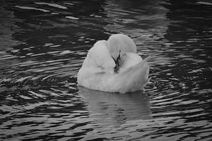Zwaan , zwart wit van Angela Worst