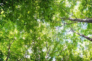 Sonnenlicht durch die Birken von Marloes van Pareren