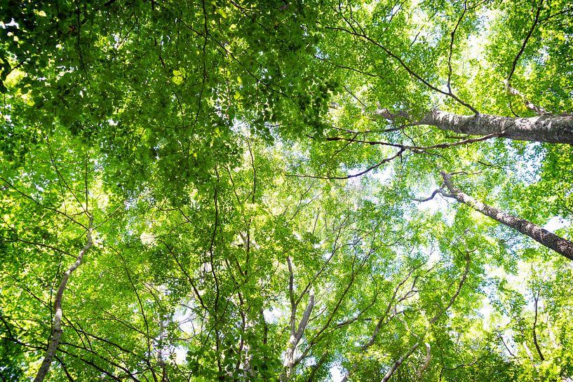 zonlicht door de beukenbomen van Marloes van Pareren