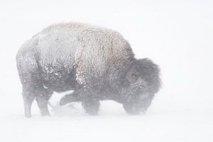 Amerikanischer Bison ( Bison bison )  im Schneesturm, sucht im Schnee nach Nahrung, Yellowstone, USA
