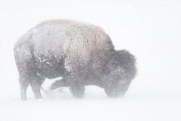 Amerikanischer Bison ( Bison bison )  im Schneesturm, sucht im Schnee nach Nahrung, Yellowstone, USA von wunderbare Erde