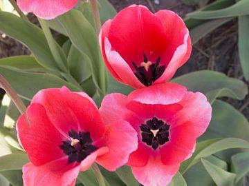 mooie nederlandse tulpen van Evelien Brouwer