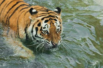 Große starrende Augen Junger schöner Tiger mit ausdrucksvollen Augen geht auf dem Wasser (badet), Ra von Michael Semenov