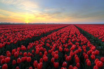 Sonnenaufgang über roten Tulpen von FotoBob