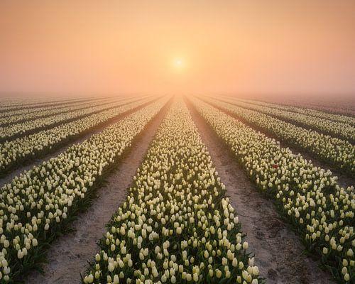 Nebliger Sonnenaufgang über den Tulpen