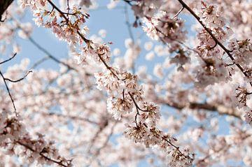 Japanse Sierkersen Bloesem van lisanne Vloet