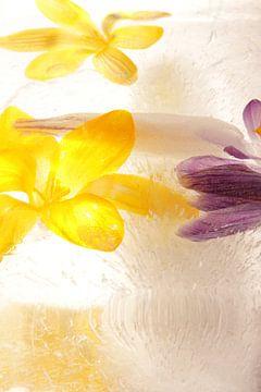 Blossoms in ice van