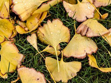 Der Ginkgobaum verliert seine Blätter,