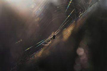 Spin in het web bij zonsopkomst
