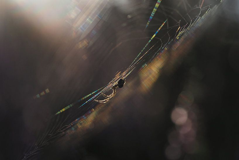Spinne im Netz bei Sonnenaufgang von Astrid Brouwers