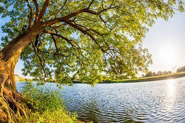 Leeftijd, grote boom aan de rivier de Ems van Günter Albers