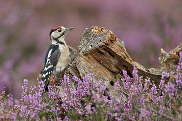Buntspecht ( Dendrocopos major ) sitzt an einer Baumwurzel inmitten blühender Heide, wildlife, Europ von wunderbare Erde