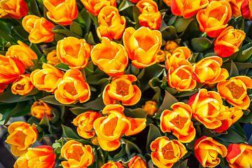 Oranje Tulpen van Casper De Graaf