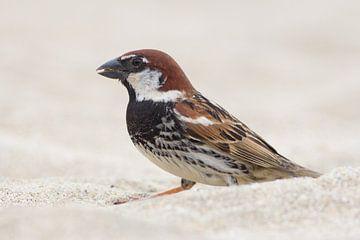Spanish Sparrow sur Rene Lenting