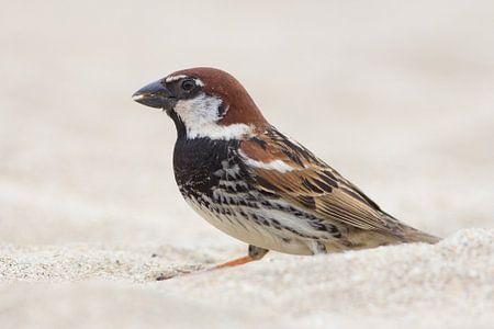 Spanish Sparrow von Rene Lenting