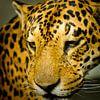 Luipaard van Robert Kersbergen thumbnail